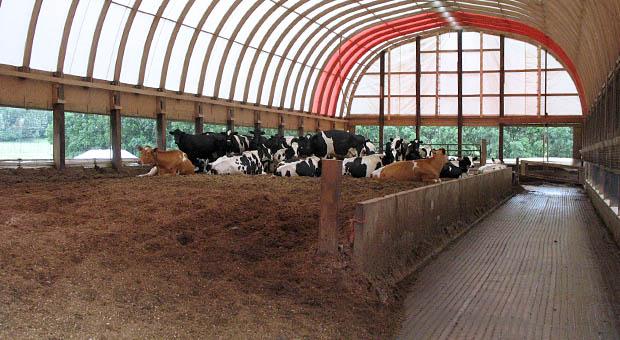 Bodem in vrijloopstallen in Minnesota bestaan uit houtsnippers en zaagsel. Het bodemmateriaal wordt opgebouwd vanaf de grond, dus geen verdiepte put in de grond. De toplaag wordt een- of tweemaal per dag gecultiveerd of gefreesd. Op het ligbed (dus exclusief voerpad) is 7 tot 8 m2 per koe beschikbaar.